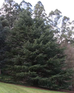 Stately-Conifer